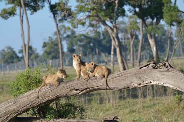 Beautiful Lioncabs