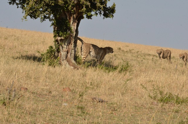 Cheetah Marking teritory