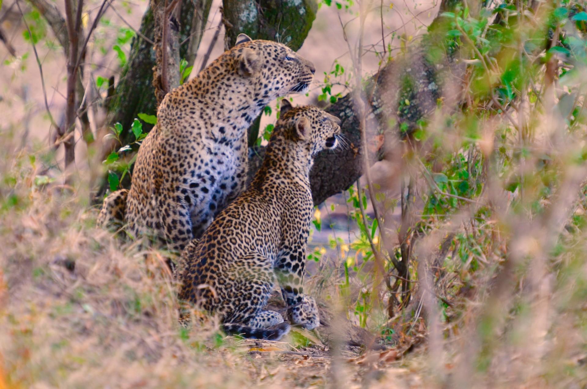 Tangulia Mara Cats 1