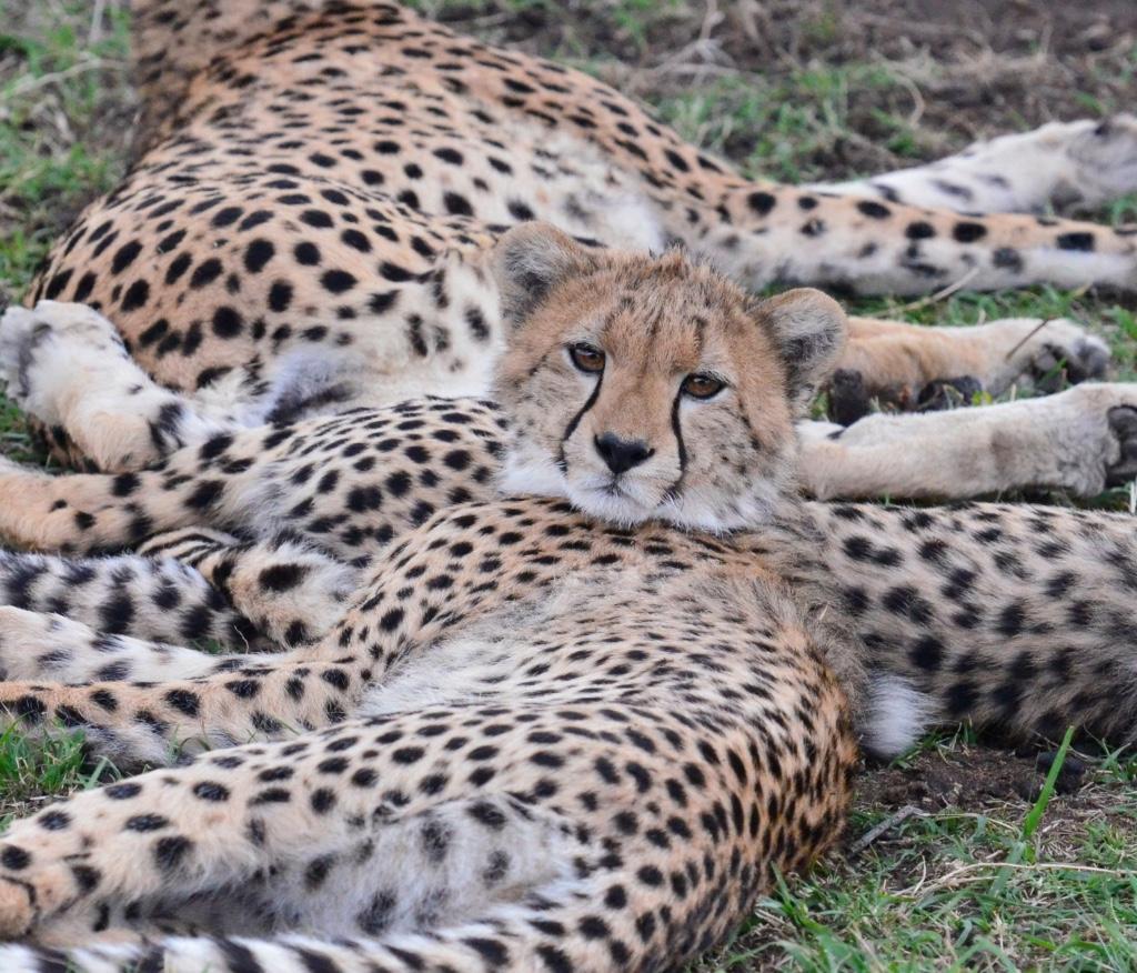 Tangulia Mara Cats 20