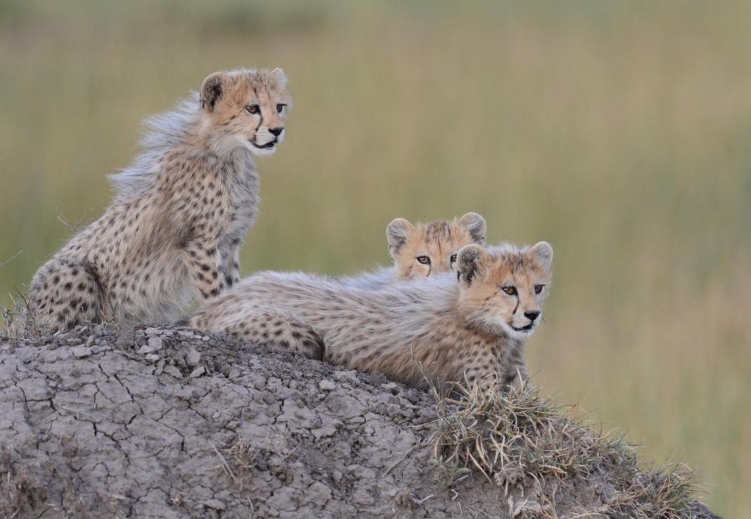 Tangulia Mara Cats 26