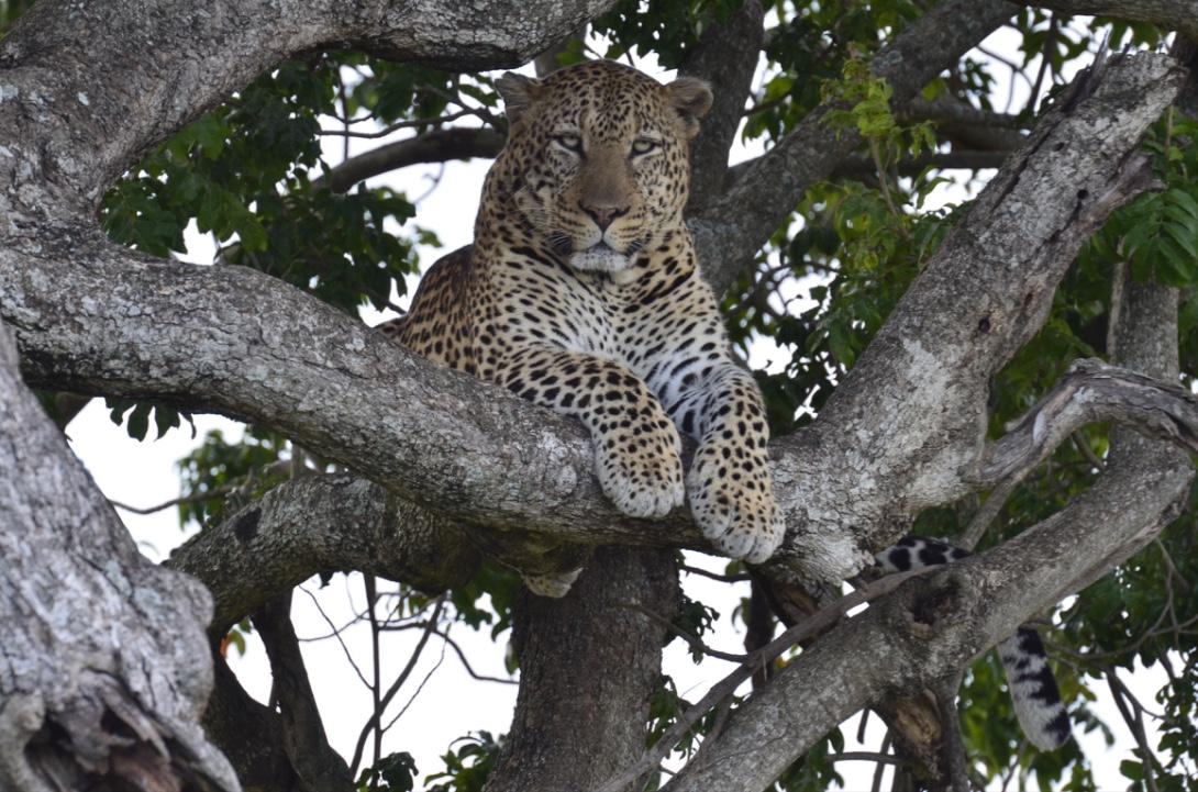 Tangulia Mara Cats 8