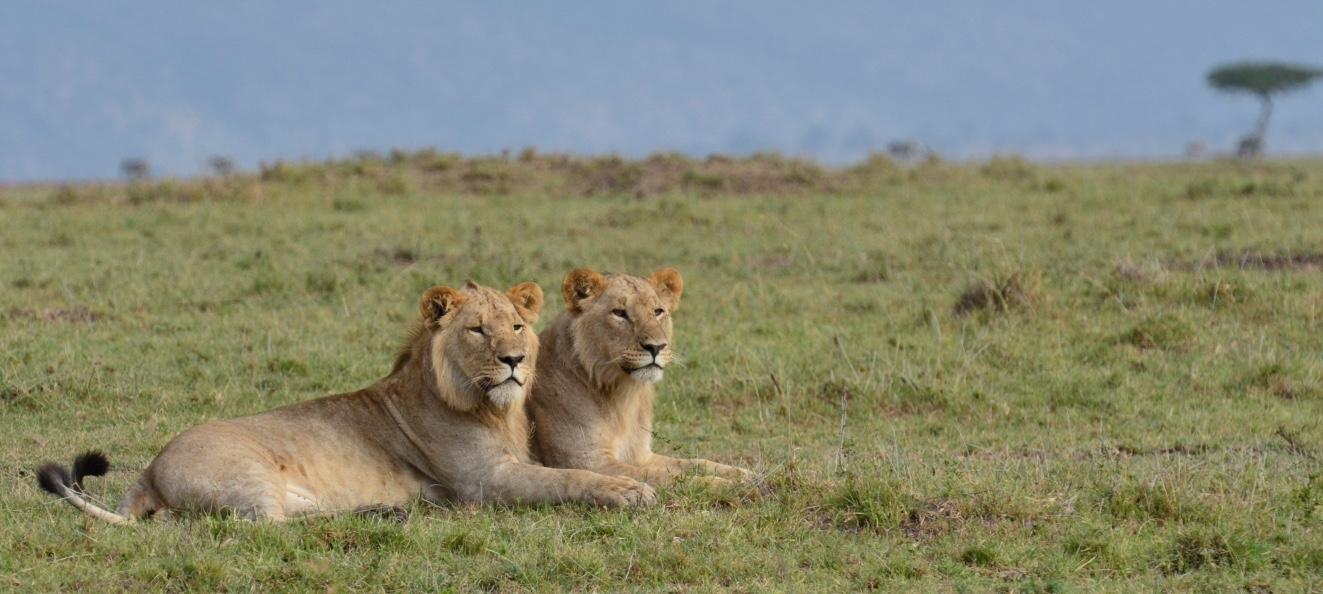 Tangulia Mara Lions 13