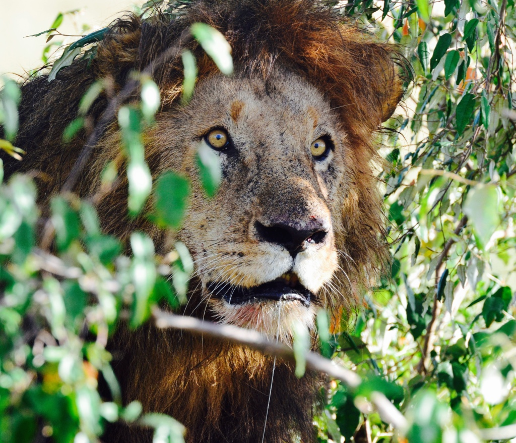 Tangulia Mara Lions 15