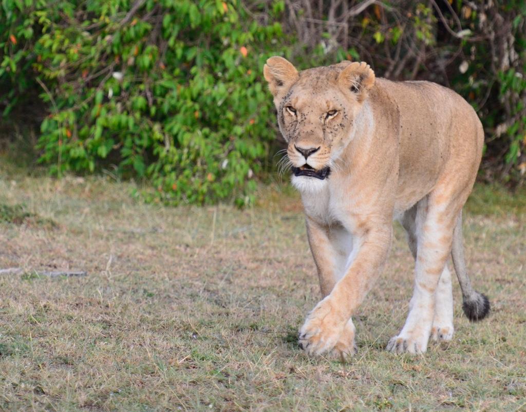 Tangulia Mara Lions 22