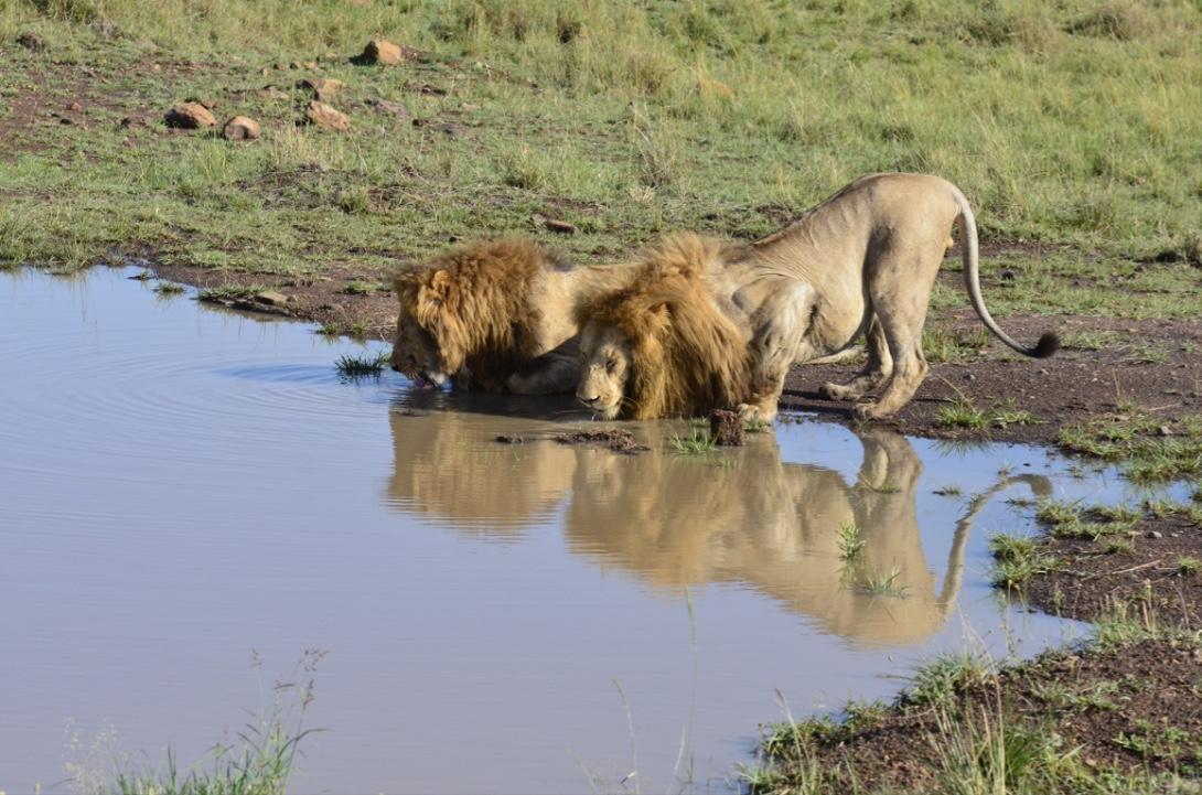 Tangulia Mara Lions 26